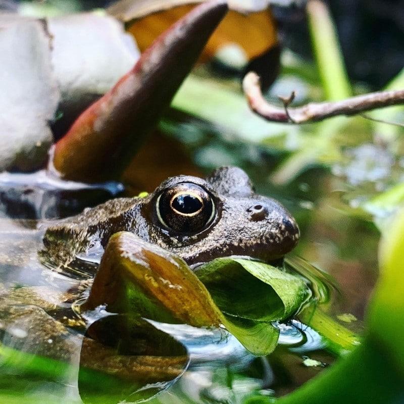 89_Other_Frog_1_MaryJenner_ParentsPond