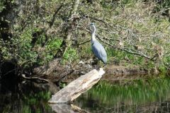 12_Birds_Heron_AnneHodgson_HighMillaboveWeir